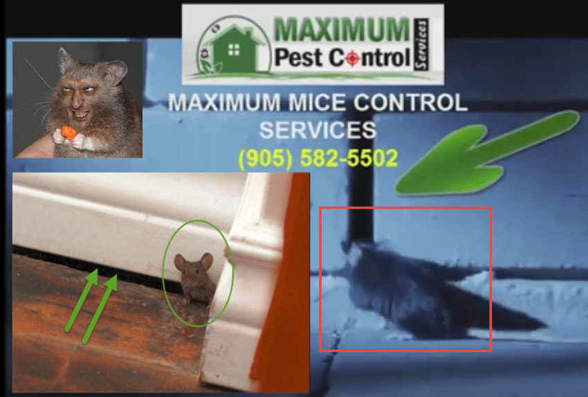 Residential Mice Control Service Program