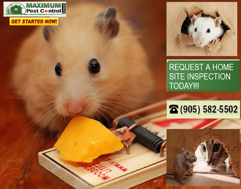 pest control service for mice www.maximumpestcontrol.ca (905) 582 5502