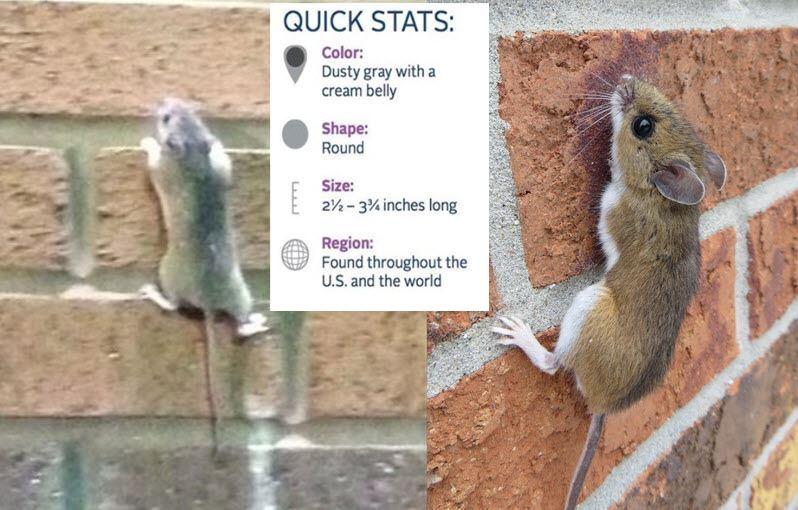mice climb walls www.maximumpestcontrol.ca