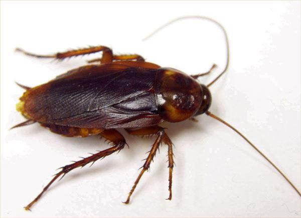 roach pest control service www.maximumpestcontrol.ca