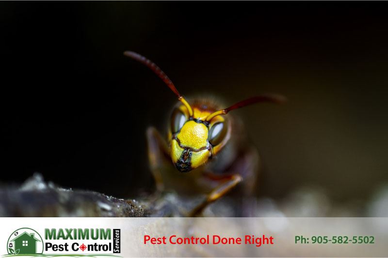 image of a wasp captured by Pest Control Professional in Hamilton Ontario