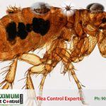 Adult Flea Aphaniptera killed by flea control expert