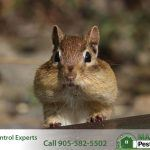 chipmunk Tamias striatus from Southern Ontario region of Canada