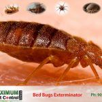 Cimex Lectularius adult bed bug feeding on human skin