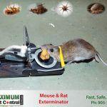 mouse dead on mouse trap set by Maximum Pest Control Services