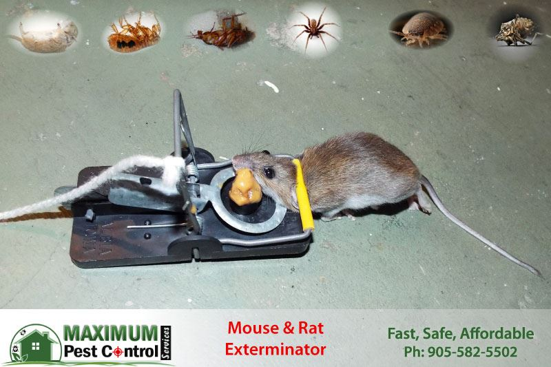 mouse dead on mouse trap set by Maximum Pest Control Services
