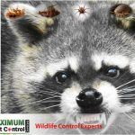 raccoon captured by Wildlife capture professional