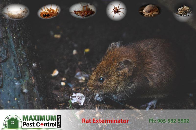 rat feeding on scrap food