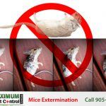 dead mice and a rat exterminated by Maximum Pest Control Services
