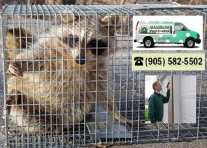 Animal Trapping Service in Oakville 905-582-5502