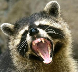 Raccoons Control Service 905-582-5502