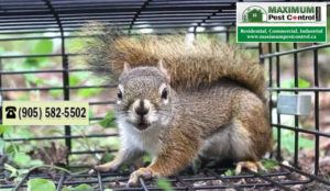 Squirrel Removal Oakville ON 905-582-5502
