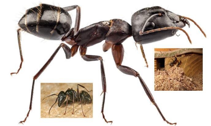 ants nesting in Ontario House