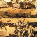 ants in Ontario house wall