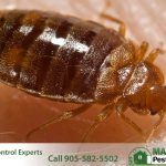 close up view of Cimex Lectularius adult bed bug on human skin