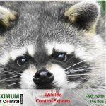 raccoon captured by Wildlife control expert