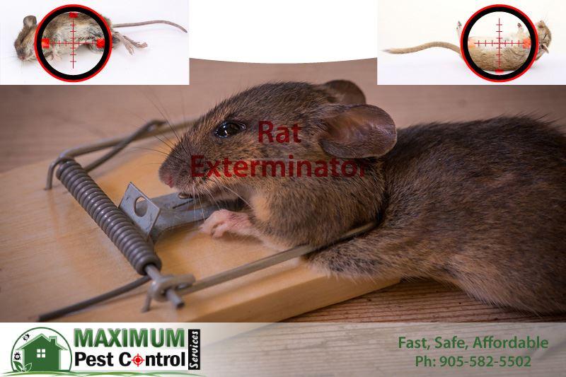 rat exterminated dead