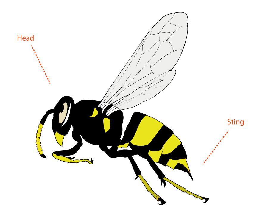 Wasp Anatomy Morphology