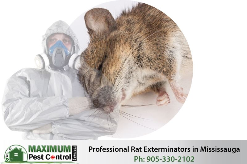 dead rat and professional rat exterminator posing crossed arms