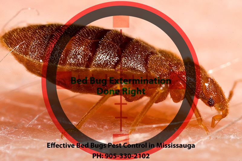 Effective Bed Bugs Pest Control in Mississauga