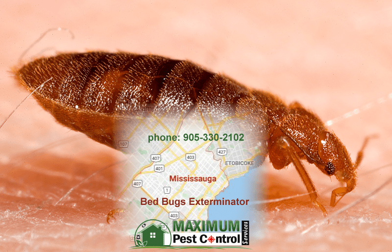 bed bug feeding on human skin and map of Mississauga Ontario